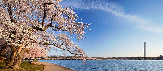 Cherry Blossom Festival Drink Specials, March 20-April 14